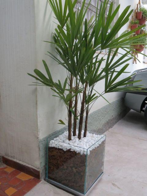 planta rafia/ rafis
