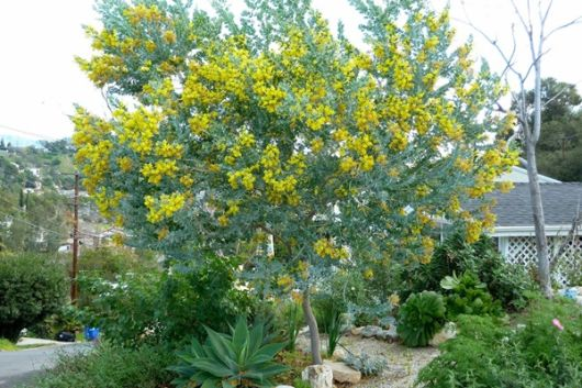acácia mimosa