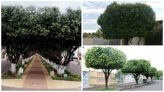 árvore de sombra