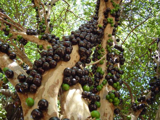 frutas jabuticaba