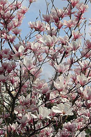 flor magnólia