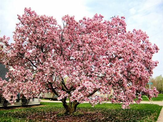 árvore magnolia