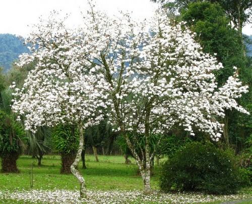 Rvores para jardim 10 esp cies - Magnolia planta cuidados ...