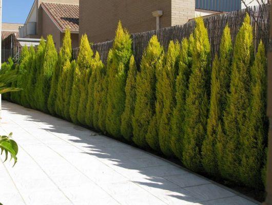 muro com pinheiros