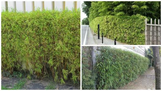 bambuzinho de jardim