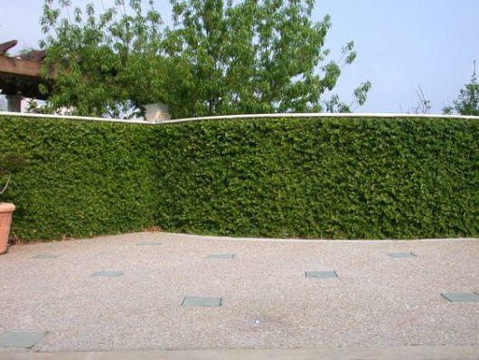 ficus muro