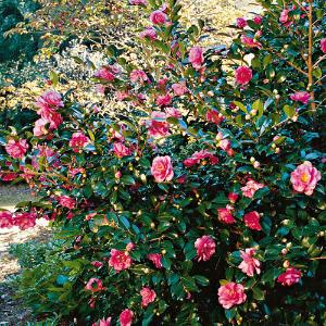 camélia rosa