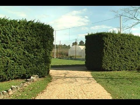arbusto cedrinho