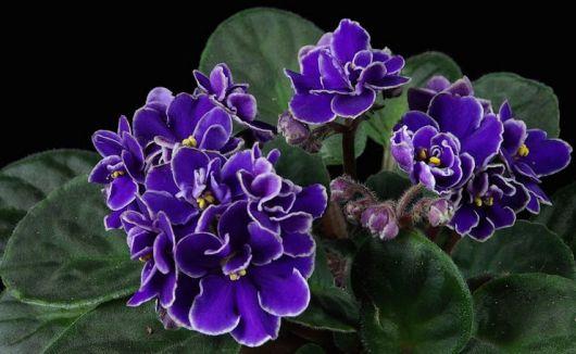 Resultado de imagem para Violeta planta