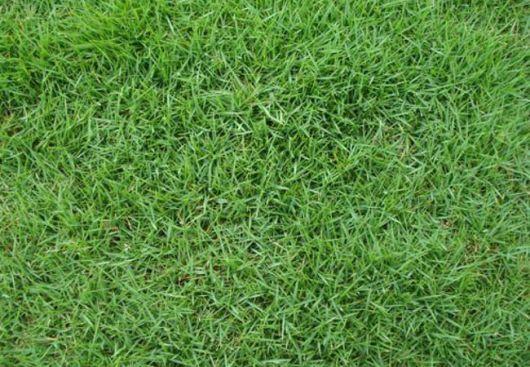 grama japonesa