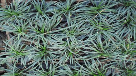 gramado negro