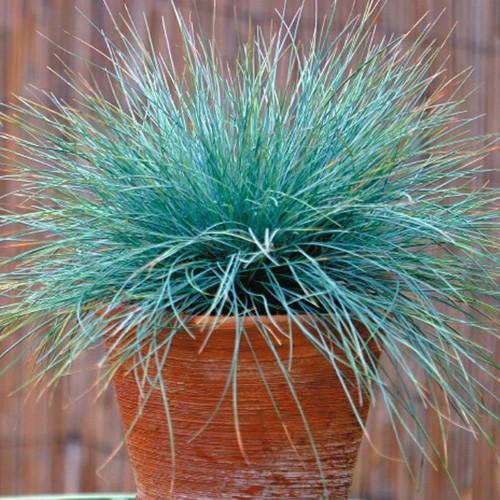 grama azul vaso
