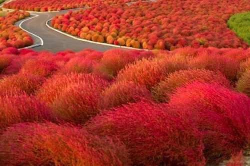 grama vermelha