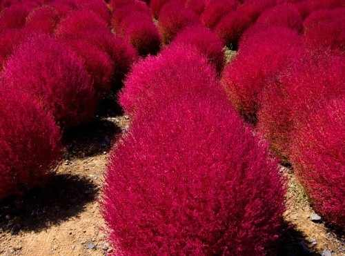 arbusto vermelho