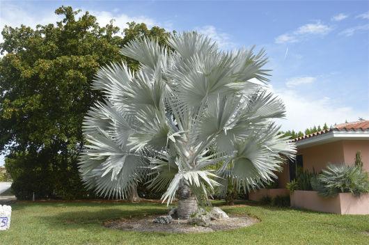 Resultado de imagem para palmeira azul