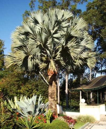 palmeira folha leque