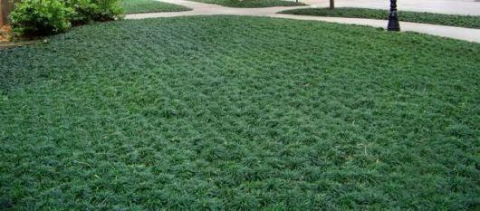 grama preta como é plantada