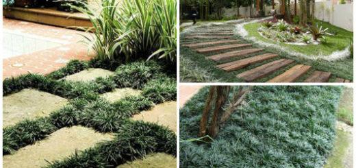 grama preta como cultivar