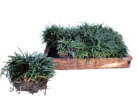 muda de grama preta