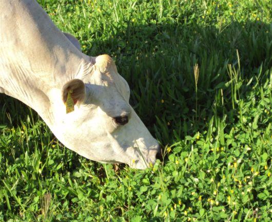 grama para gado