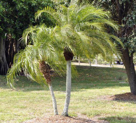 ideias-palmeiras-pequeno-porte