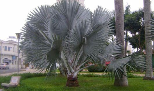palmeira-azul-bismark