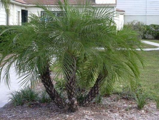 palmeira-fenix-mudas