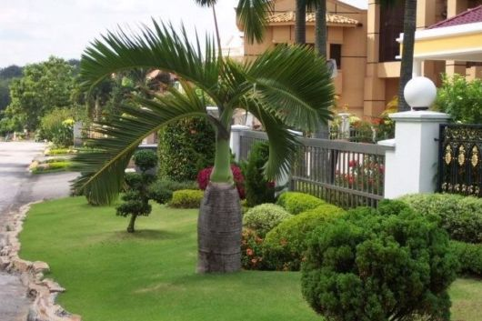 palmeira-garrafa-paisagismo