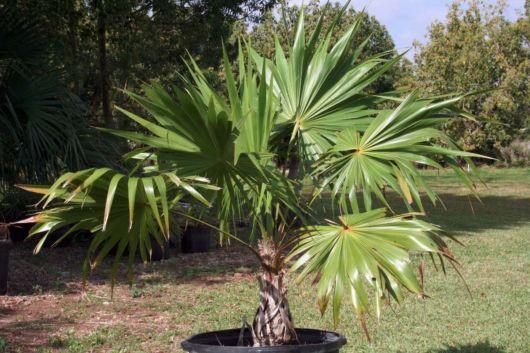 palmeira-leque-como-e