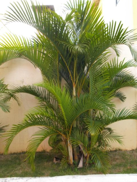 palmeira-para-jardim-pequeno-porte