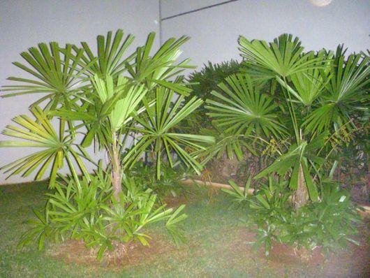 palmeira-rafia-ideias