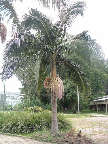 palmeira-real-como-e