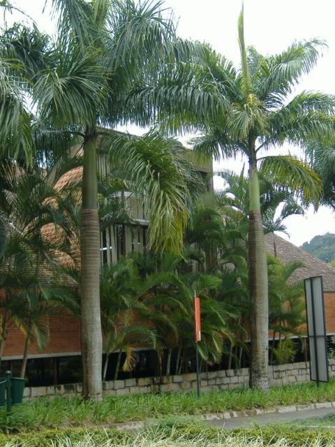 palmeira-real