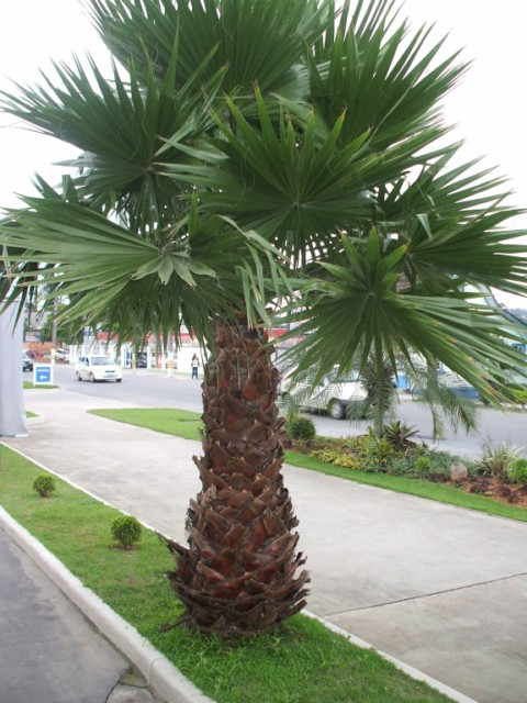 palmeira-washingtonia