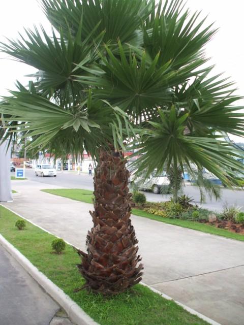 palmeira-washingtonia