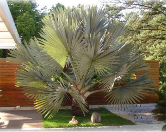 palmeiras-para-jardim-de-pequeno-porte