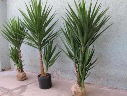 palmeiras-pequenas-para-vaso