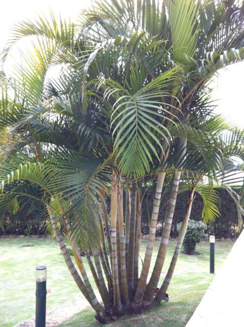 tipo-de-palmeira-areca