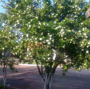 falsa murta nas árvores que crescem rápido