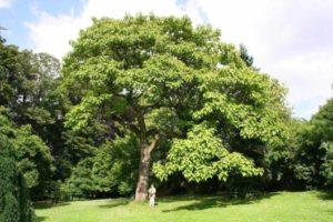 árvores que crescem rápido imperatriz de jardim