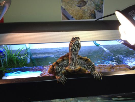 fotos-de-aquarios-tartaruga