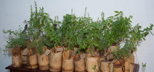 vasos-de-bambu-para-ervas