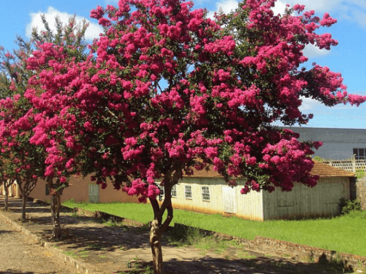 arvores-para-calcadas-magnolia