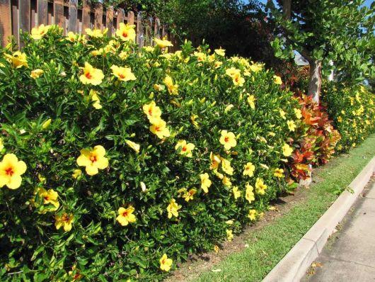 flores-trepadeiras-alamanda-1