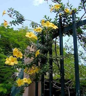 flores que trepam