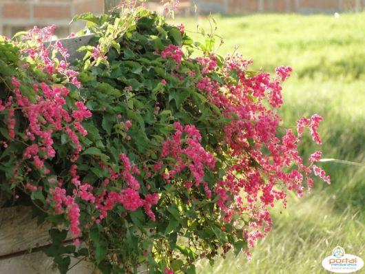 flores-trepadeiras-amor-agarradinho