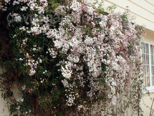 flores-trepadeiras-jasmim-estrela