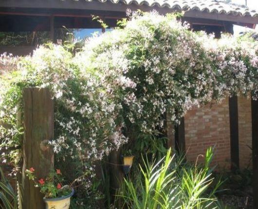 flores-trepadeiras-jasmim