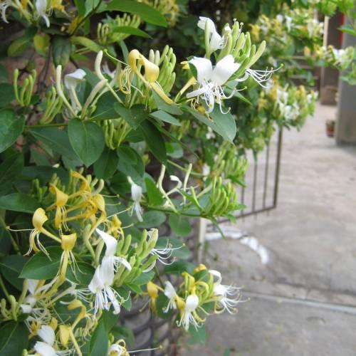 flores-trepadeiras-madressilva