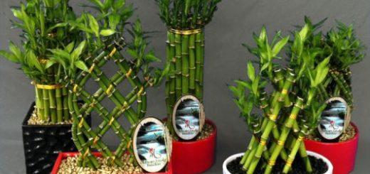 bambu-da-sorte-destaque